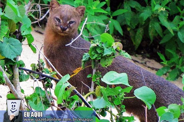 Internauta registra gato-mourisco no Parque Estadual de Itaúnas. Crédito: Terence Jorge Caixeta Nascentes Ramos   CIDADÃO REPÓRTER