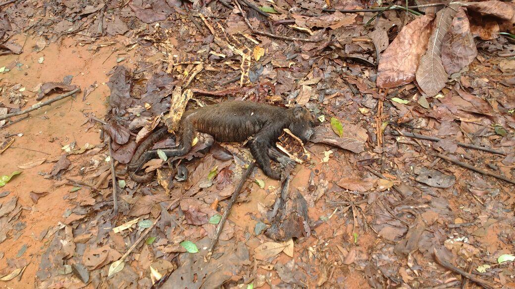 Macaco com suspeita de febre amarela encontrado morto em São Roque do Canaã