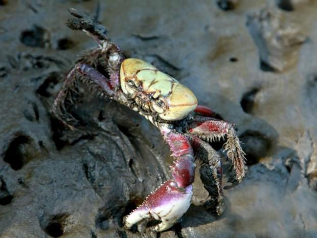 Caranguejo-uçá passa por três períodos de andada no ano. Crédito: Divulgação/CRUSTA