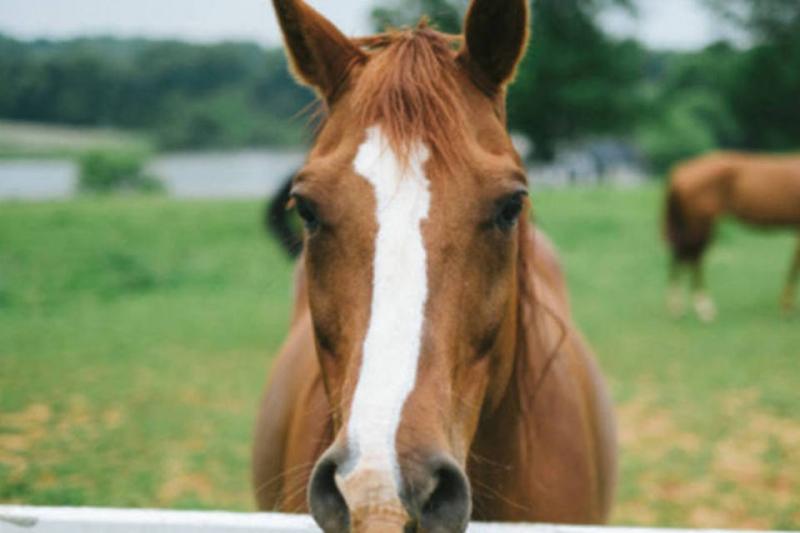 Doença pode  afetar sistema neurológico de cavalos. Crédito: Divulgação
