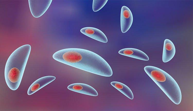 Protozoário Toxoplasma gondii, responsável por causar a toxoplasmose. Crédito: Reprodução | Internet