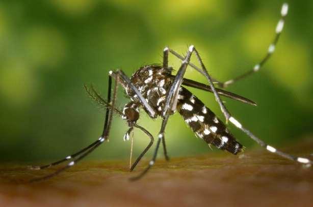 Mosquito Aedes aegypti. Crédito: Arquivo