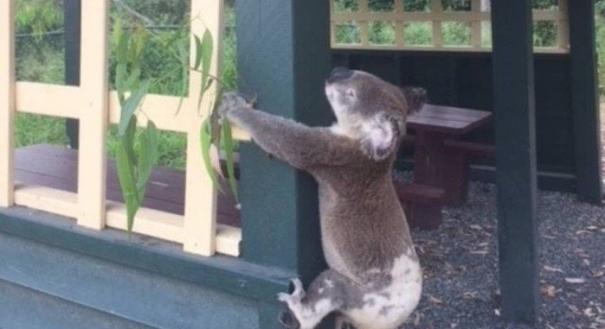 Corpo de coala fixado em poste causa revolta na Austrália