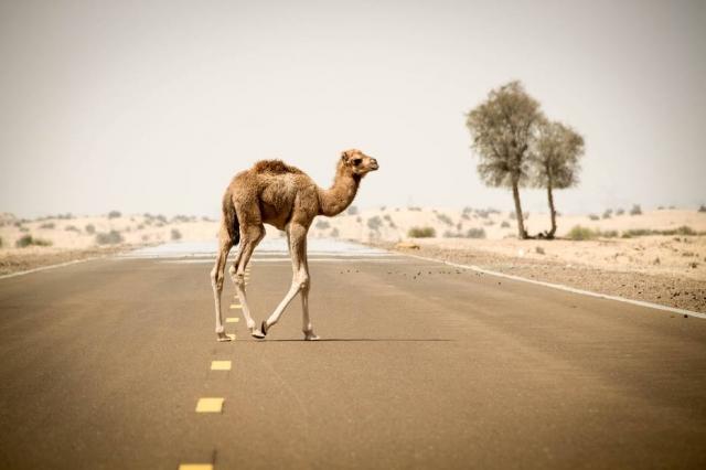 Resultado de imagem para Camelo com lábios de botox