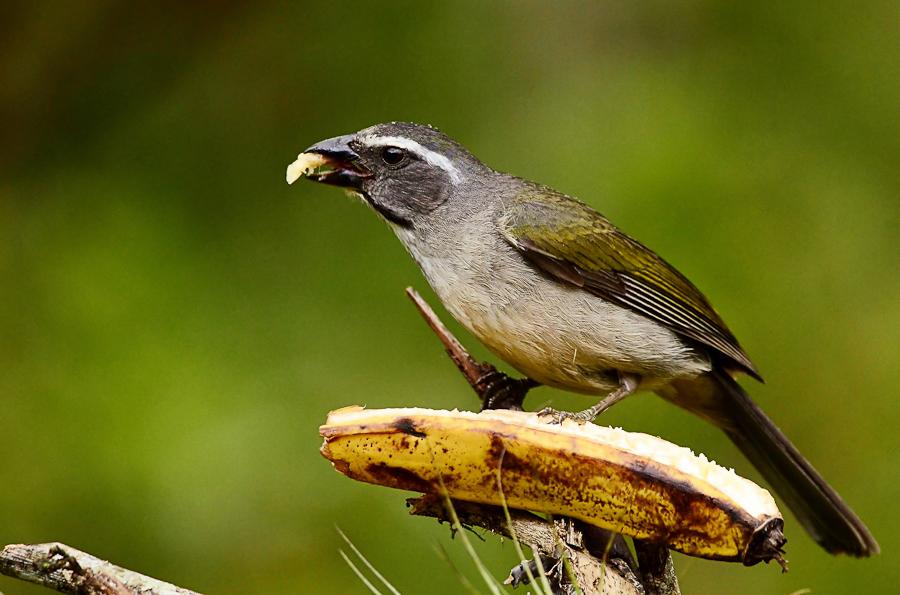 O trinca-ferro é um dos pássaros que estão sendo vendidos ilegalmente no site OLX. Crédito: Divulgação