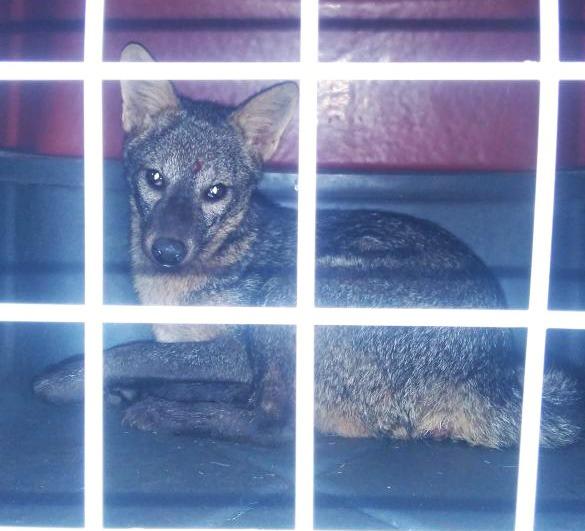 A raposa, que já estava com dificuldade de locomoção, foi levada para o hospital veterinário da Ufes em Alegre. Crédito: Secretaria de Meio Ambiente de Itapemirim