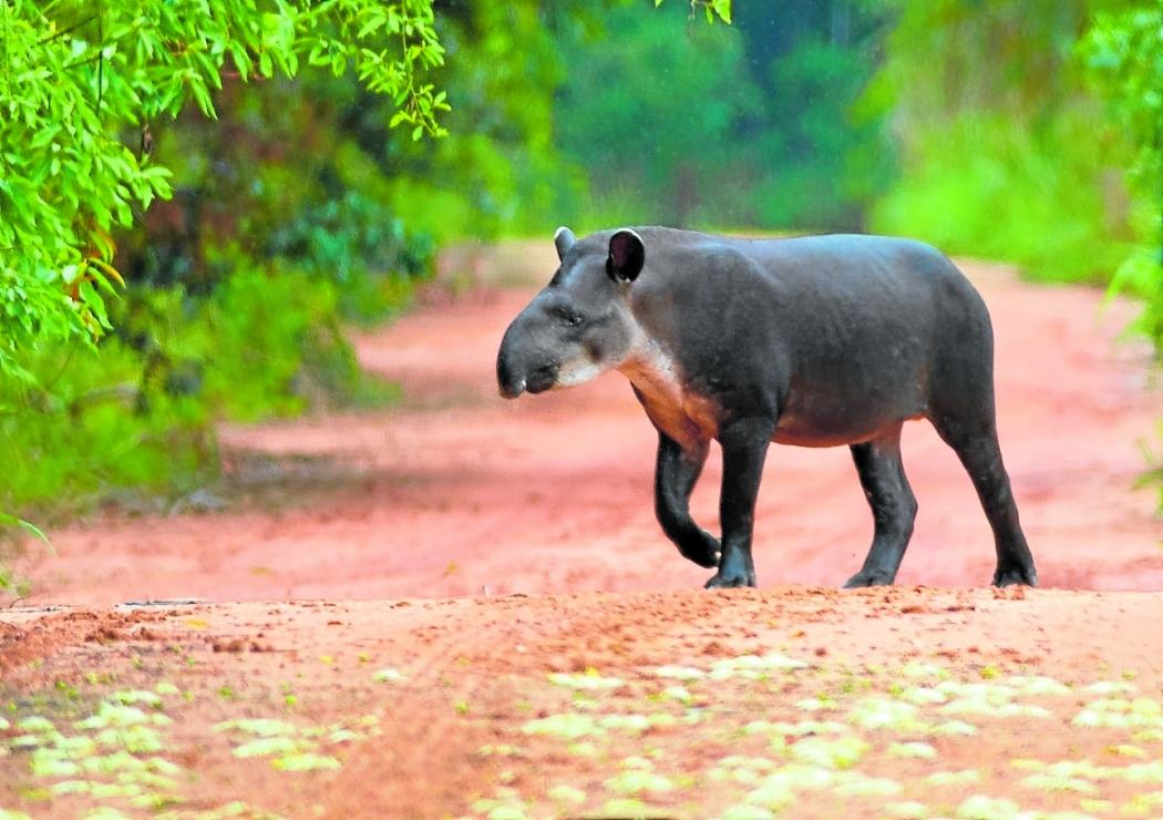 Anta, o maior mamífero terrestre. Crédito: Peter Schoen/Projeto Pró-Tapir