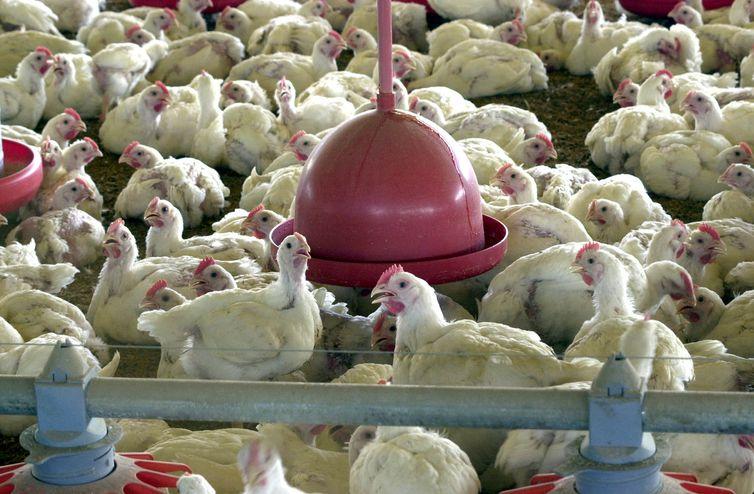 Salmonella foi encontrada em carnes de aves de capoeira     . Crédito: Arquivo | Agência Brasil