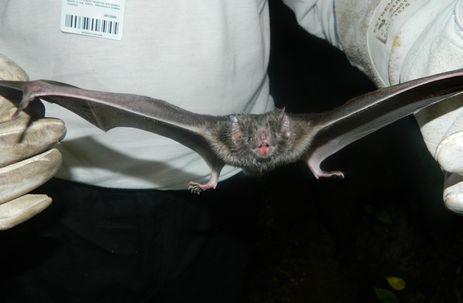 Morcego hematófago pode transmitir o vírus da raiva. Crédito: Divulgação/Governo do Estado de Santa Catarina