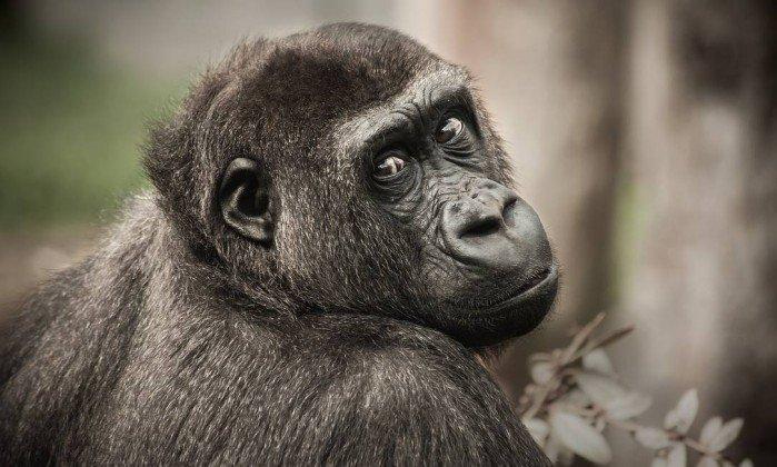 Os pesquisadores coletaram amostras de 41 ninhos de chipanzés na Tanzânia e as testaram para biodiversidade microbiana