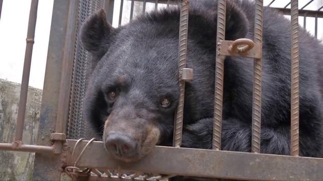 Uma família chinesa tomou um susto quando descobriu que seu filhote de cachorro na realidade se tratava de um urso. Crédito: YouTube/CGTN