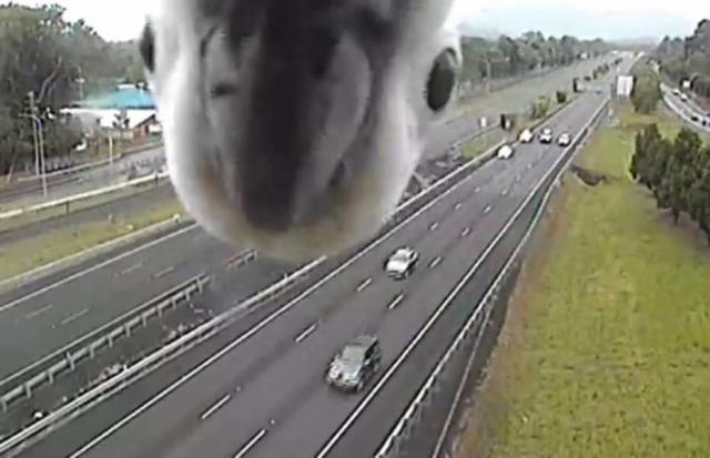 Uma cacatua descobriu uma câmera de trânsito na Austrália e fez sucesso na internet ao olhar fixamente para ela. Crédito: Facebook