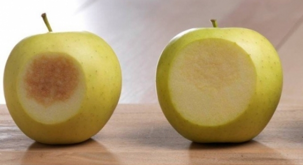 Modificação genética feita pela empresa americana Okanagan Specialty Fruits gerou maçãs que retêm melhor o conteúdo nutritivo de antioxidantes e vitamina C