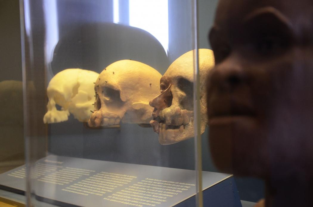 Crânio de Luzia em exposição no Museu Nacional. Crédito: Fotos Públicas/Alexandre Macieira
