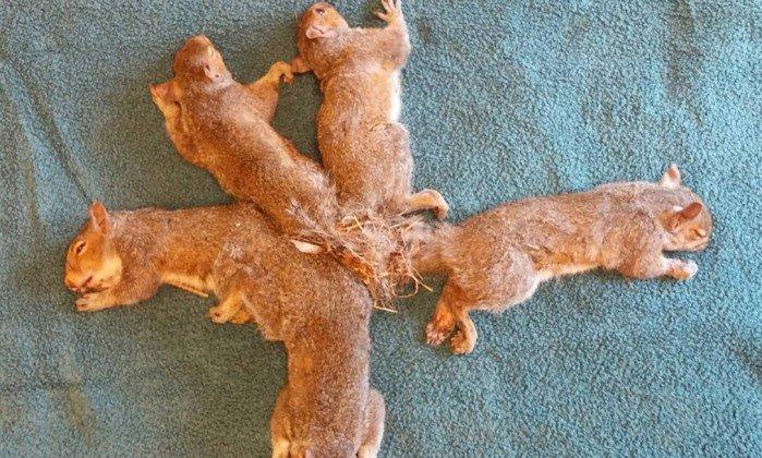 Os cinco esquilos de uma mesma ninhada foram encontrados presos pelas caudas. Crédito: Wildlife Rehabilitation Center at Wisconsin Humane Society