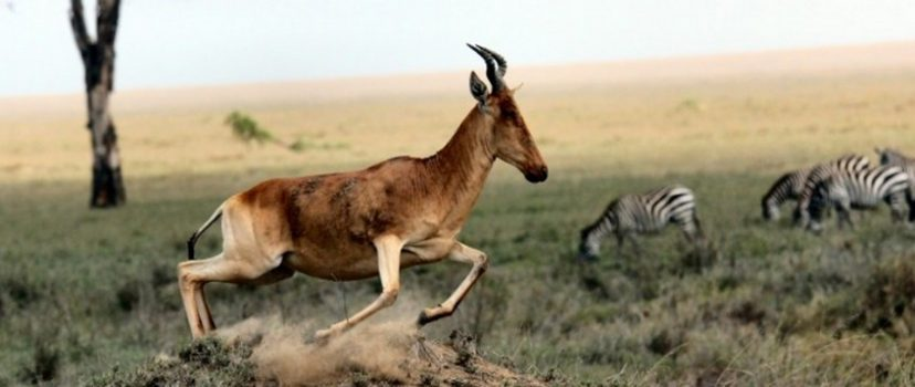 O termo gazela associado a empresas faz referência ao mamífero de mesmo nome que possui como características crescimento rápido e agilidade. Crédito: Pixabay