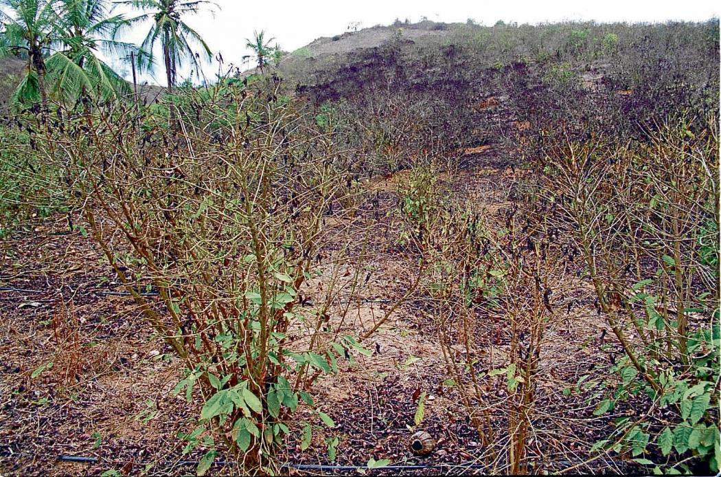 Plantação de café queimada pela seca no Estado. Crédito: Ricardo Medeiros