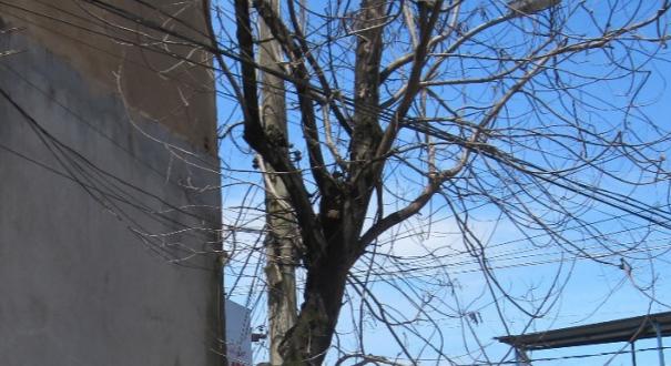 Laudos técnicos apontam que mais quatro árvores podem ter sido envenenadas na Capital. Crédito: Divulgação Semmam (PMV)