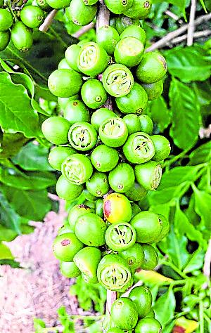 Grãos malformados de café  por falta dágua. Crédito: Cooabriel/divulgação
